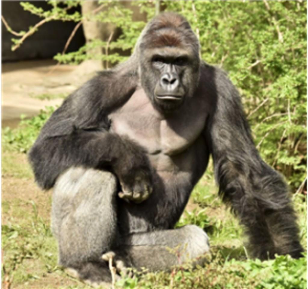 gorilaa